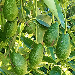 Chosen Foods Avocado Oil Non GMO