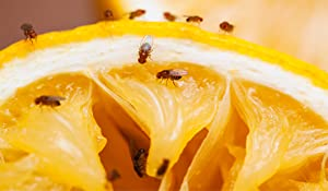 The key to fruit fly control is elimination of developmental sites.