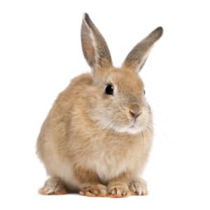 Rabbit / Bunny