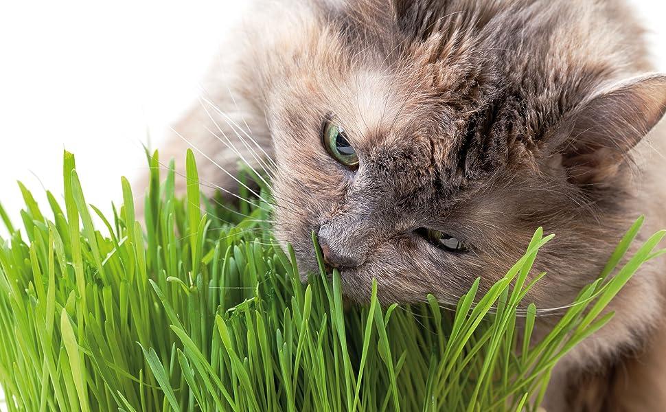 Cat Grass - Cat Eating Cat Grass Indoor