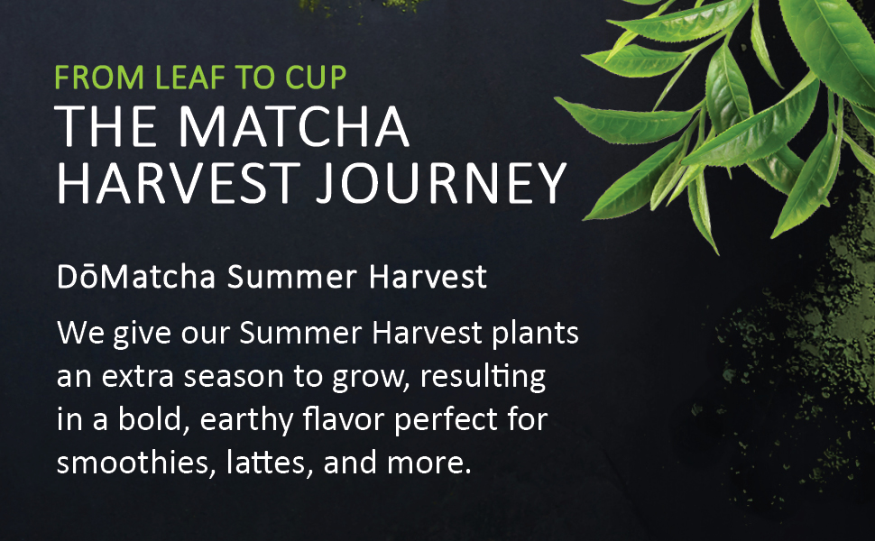 From Leaf to Cup, the Matcha Harvest Journey