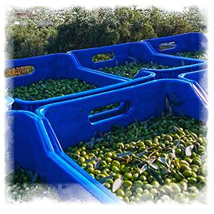 olive oils, olive oil, extra virgin olive oil, greek oil, greek olive oils, pj kabos