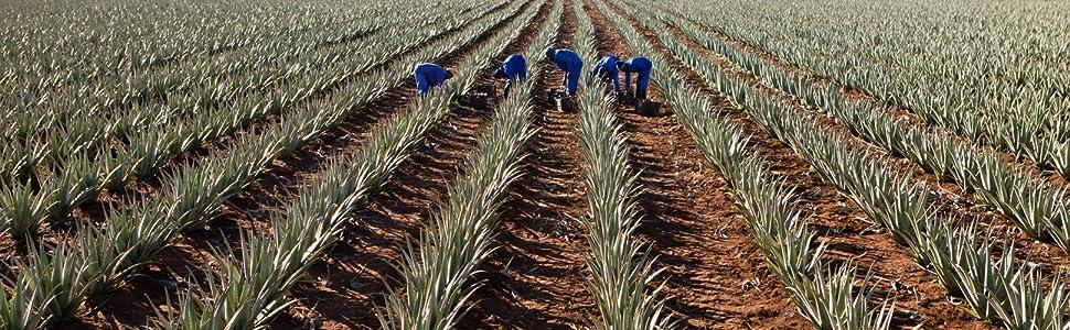 Curaloe Aloe Vera Plantation Field Plant Gel Live Organic Succulent Pure Hair Face Cactus Real Skin