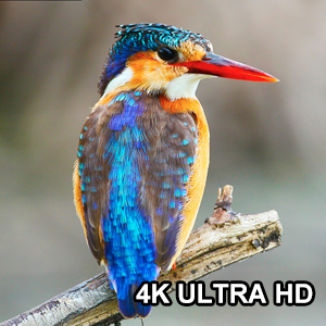 Professional 4K UHD on 4K Resolution TV or Quicktime Player