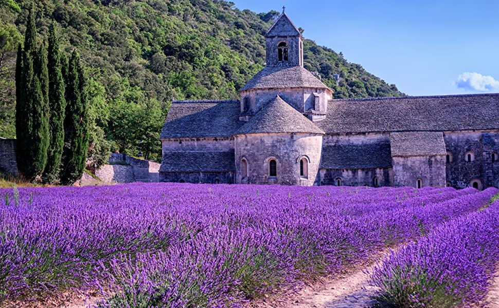 Lavender flowers field from france