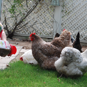 Treats for chickens poultry natural premium feed non-gmo backyard fresh quality protein feeding