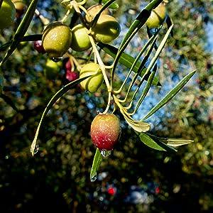 Lechin Olive