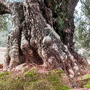 Old Lechin Extra Virgin Olive Oil Tree