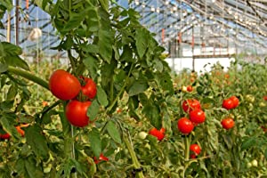 GrowBiggerPlants RollerHook Tomato Vine Crop Trellis (25 Pack) - EBook  Included