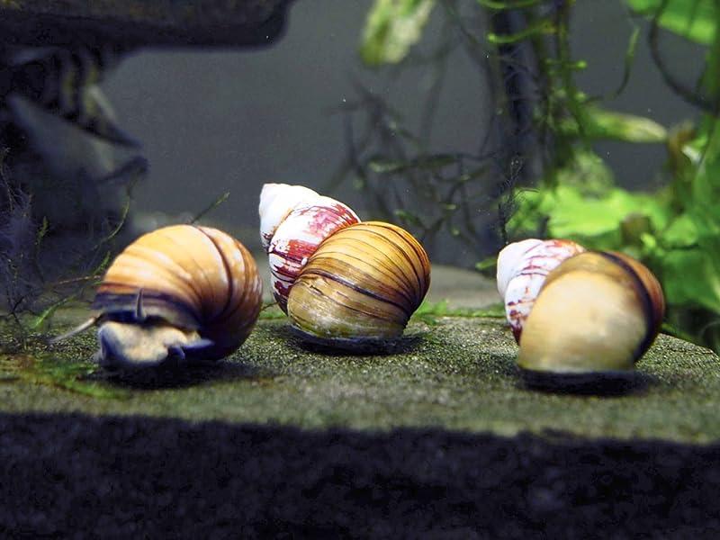 Japanese Trapdoor Snail Japanese Trapdoor Snails Care