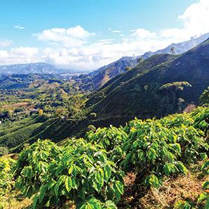 peru coffee farms and plantations south american fresh mountainous coffee