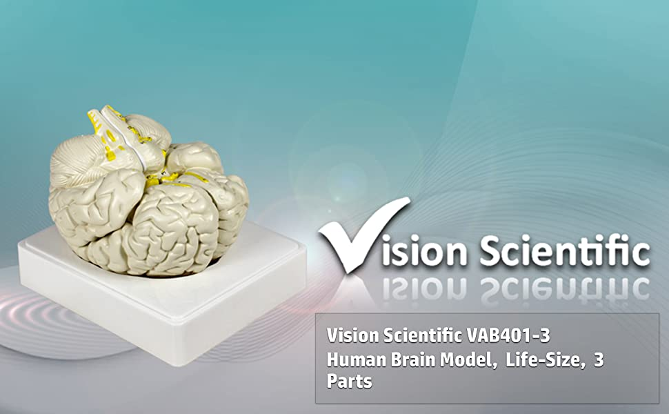 Vision Scientific VAB401-3 Life Size Brain Models-3 Parts