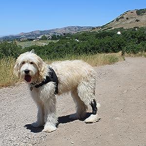 dog hike injury knee hock acl ccl mcl patella arthritis lab vet veterinarian labra brace wrap joint
