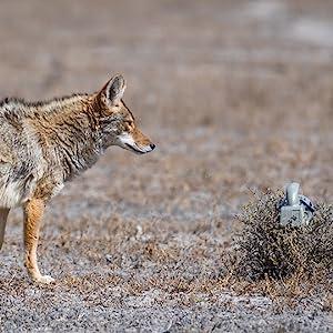 Coyote with ICOtec GC300