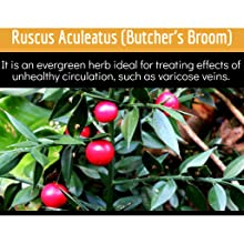 Butchers Broom berries on tree and root extract support varicose vein treatment and leg swelling