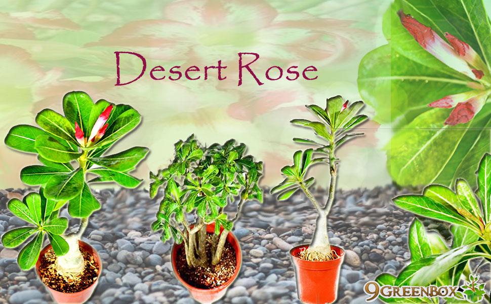 asics desert rose bestellen