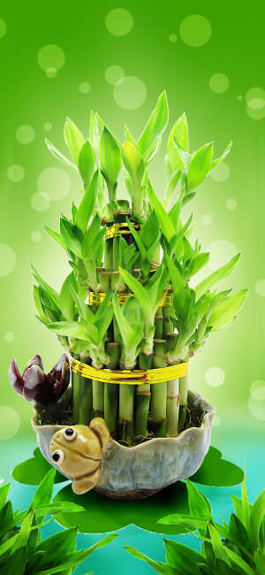 Amazon Com 9greenbox Live 8 Braided Lucky Bamboo Plant