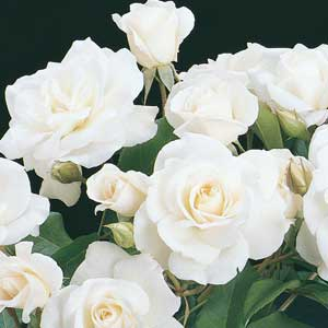 iceberg climbing rose bush organic grown white. Black Bedroom Furniture Sets. Home Design Ideas