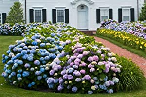 Amazon.com : Endless Summer Hydrangea- Large, Well-Developed Plants ...