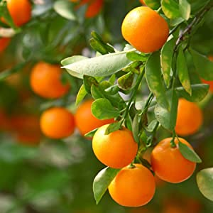 Brighter Blooms Nules Clementine Dwarf Fruit Tree Large Trees Grow Delicious Clementine Oranges Anywhere In The Usa Live Potted Plant 1 2 Ft