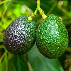 Amazoncom Hass Avocado Tree 2 3 Feet Tall In A 2 Gallon Pot