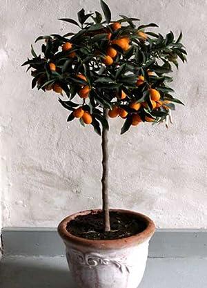 Amazoncom Nagami Kumquat Tree 1 2 Feet Tall In 1 Quart Pots