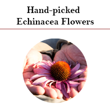 Hand-picked Echinacea Flowers