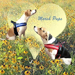 Adorable beagle / terrier mix dogs Neddy and Josie Marsh