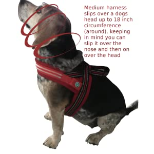 Cali, a miniature beagle wearing the LED dog harness by It's Ridic.  The perfect way to walk a dog.