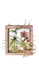 air plant frame