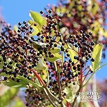 elderberry sambucus cold flu symptoms oscillococcinum sambucus elderberry medication immune support