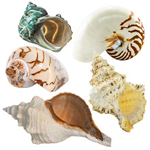 Conch nautilus frog turbo nobilis Ornament real ocean sea beach wedding crush home decor decorate