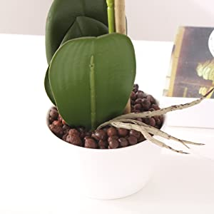 leaves and pot of the orchid