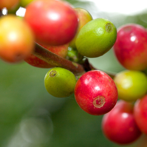 Coffee fruit tree cherry