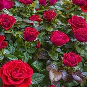 DeFaith Rose Garden