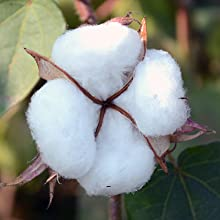 alterra pure uses organic cotton from long staple fiber boll as this