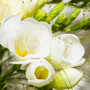 picture of freesia plant