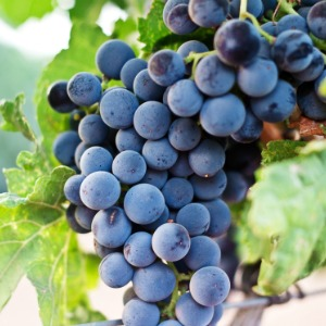 traditional balsamic vinegar grapes