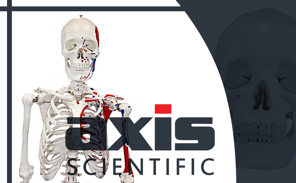 Axis Scientific Complete Disarticulated Human Skeleton Model with 3-Part  Human Skull, Articulated Hand, Foot, Anatomical Life Size Bones and More