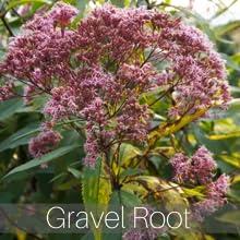 stone away tea gravel root