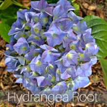 Stone away tea Hydrangea root