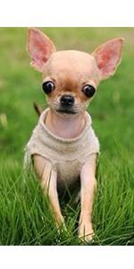 chihuahua dog collars