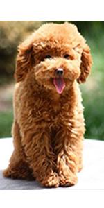poodle dog collars