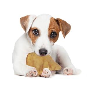 dog eating jumbo pig ear downtown pet supply