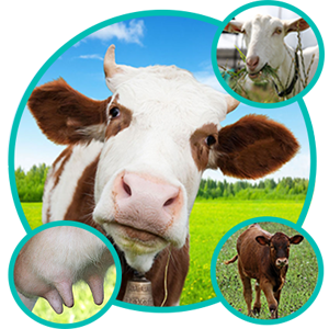 Livestock care, cows, sheep, teat dip, teat cleanser