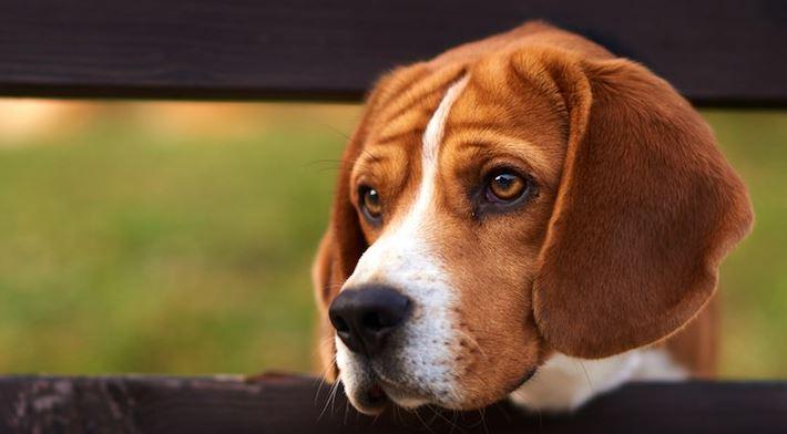 Thyroid supplement for dog