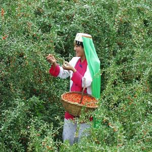 Goji Berries Ancient Chinese Superfood | Organic Wolfberries