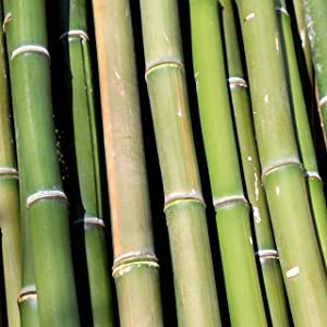bamboomn bamboo shoots tree plant biodegradable renewable natural green farming wood