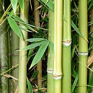 BambooMN bamboo shoots wood forest green