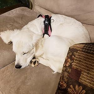 sleeping with dog harness